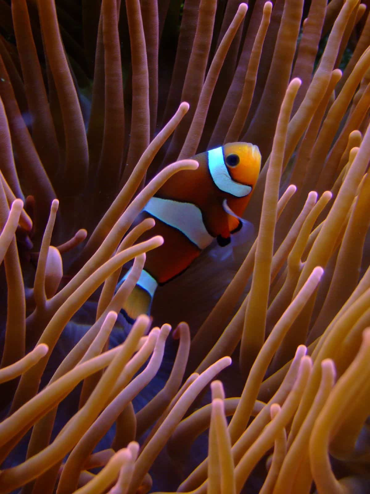 Clown fish - colourful things to do in Cozumel