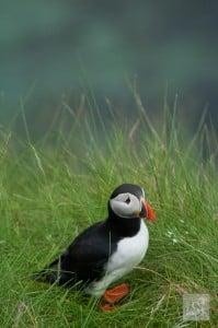 Puffin on Staffa Island, off the west coast of Scotland