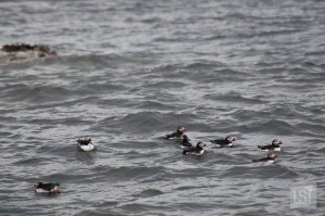 Puffins swimming off Staffa Island
