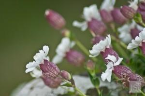Wild flowers on Staffa Island, off the west coast of Scotland