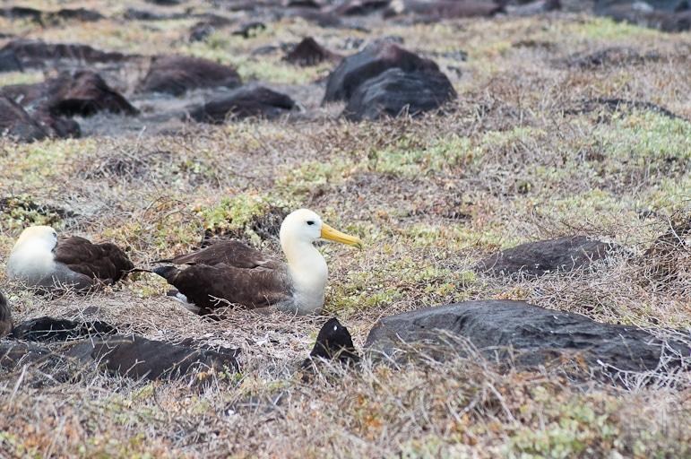 Galápagos Islands wildlife - albatrosses