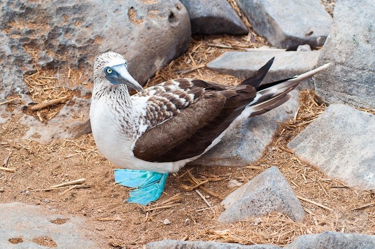 Galápagos Islands wildlife - an alert looking blue-footed booby