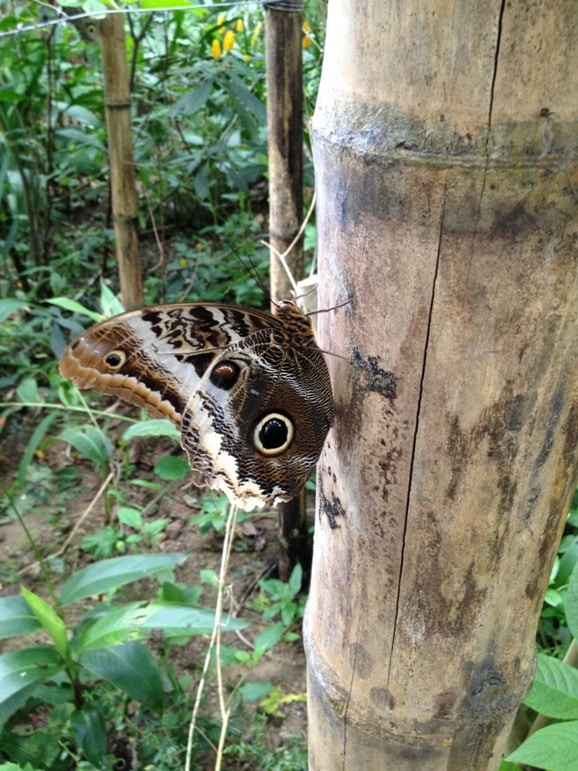 An owl butterfly near Mashpi Lodge