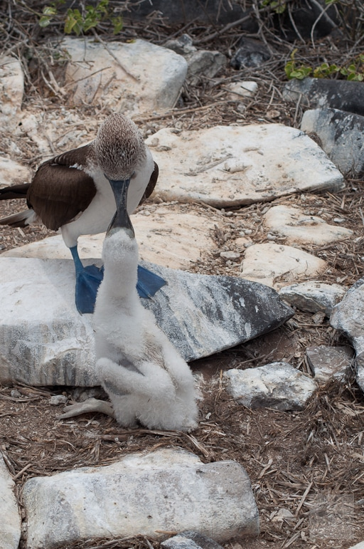Galápagos Islands wildlife - blue-footed booby feeding her young