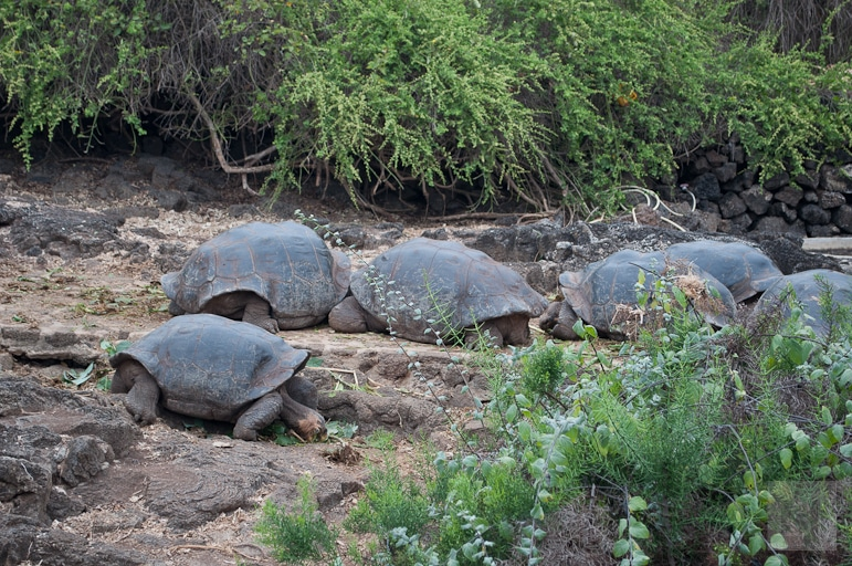 Galápagos Islands wildlife - giant tortoises at the Charles Darwin Research Centre