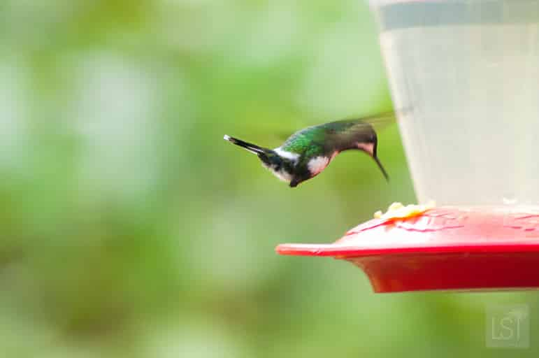 Hummingbird caught in mid-flight near Mashpi Lodge