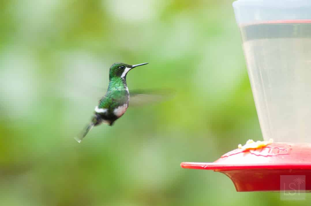 Hummingbird of Mashpi Lodge