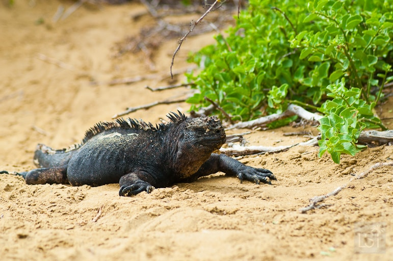 Iguana, strolling the beach