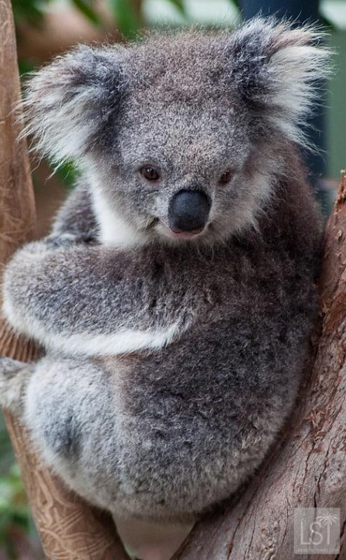Koala at Healesville Sanctuary in Australia's Yarra Valley