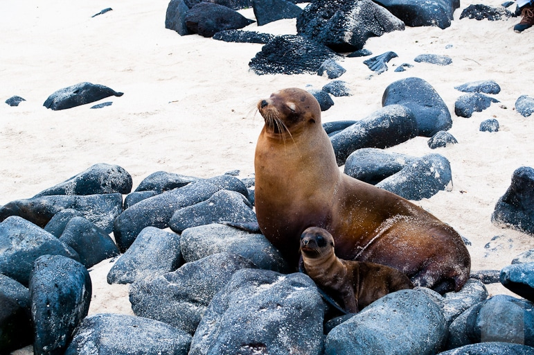 Galápagos Islands wildlife - mother and baby sea lions