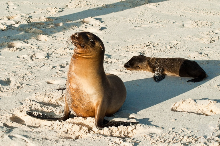Galápagos Islands wildlife - mother and pup basking in the afternoon sun