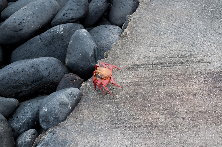 Red rock crab makes his way to the sea