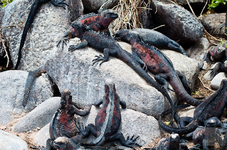 Galápagos Islands wildlife - colourful iguanas like to gather together