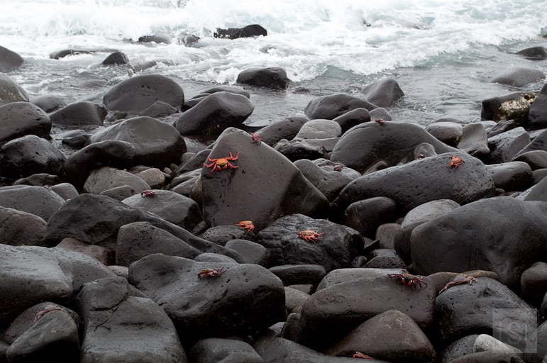 The colourful red rock crabs on Espanola island