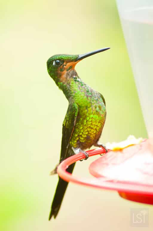 A majestic hummingbird near Mashpi Lodge