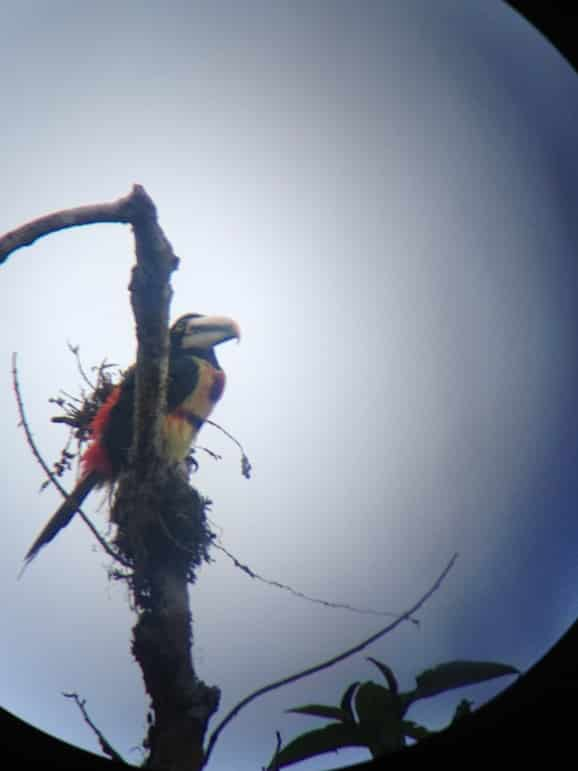 Toucan photographed through a telescope near Mashpi Lodge