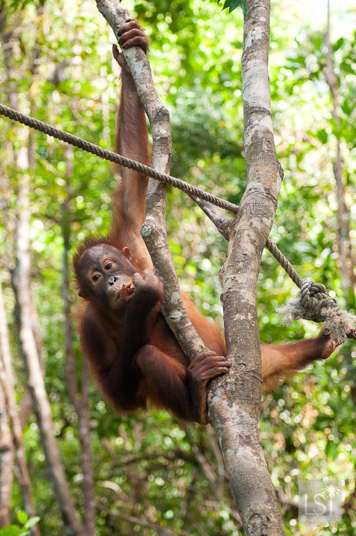 A bite on the move for this orangutan on the Orangutan Island of Borneo