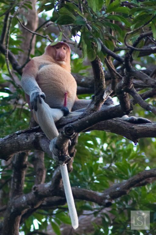 Alpha male proboscis monkey on the Orangutan Island of Borneo