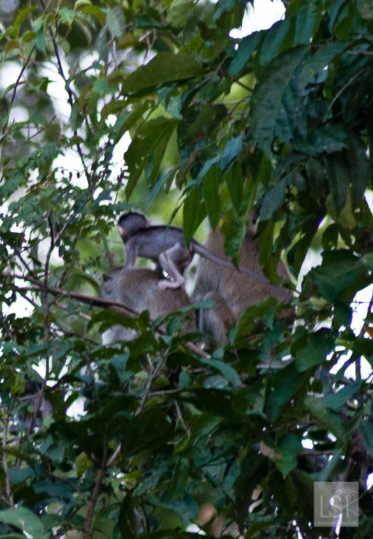 Baby monkey looking for a better view of the Kinabatangan River