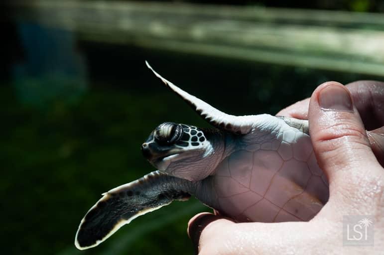 Baby turtle at Gaya Island Marine Rescue Centre