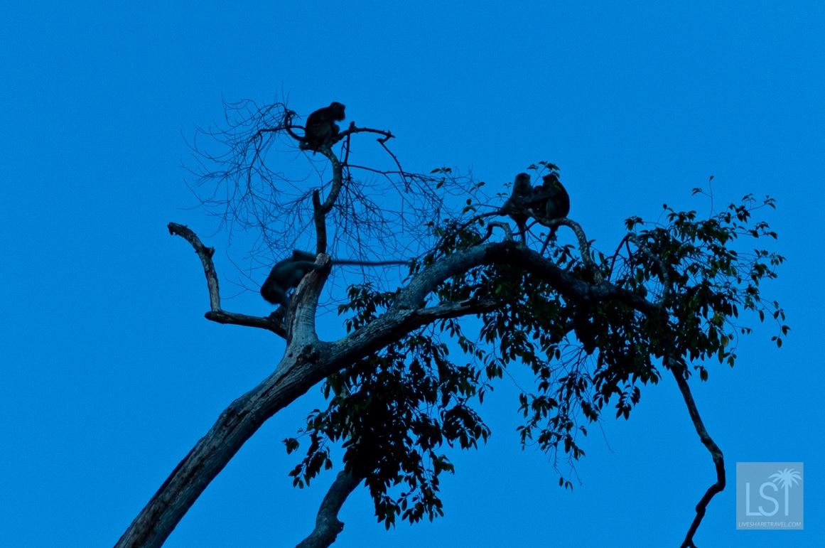 Bedtime for monkeys on the banks of the Kinabatangan River, Sabah
