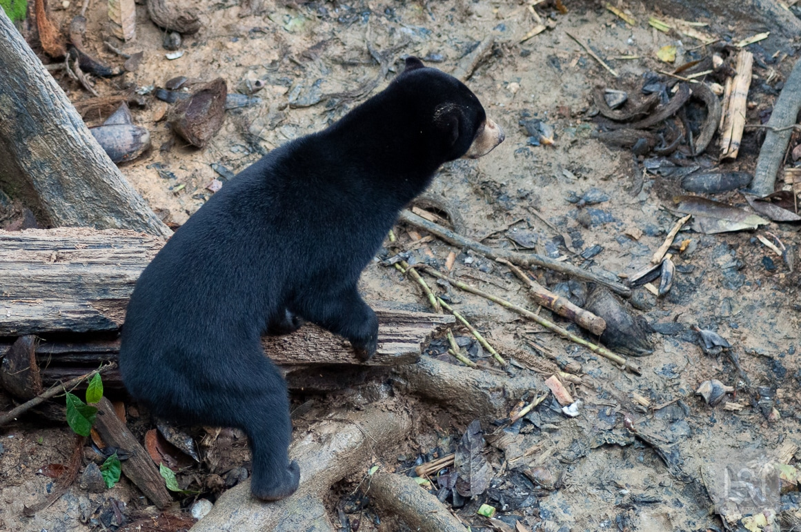 Bornean Sun Bear at the conservation centre in Sandakan, Sabah