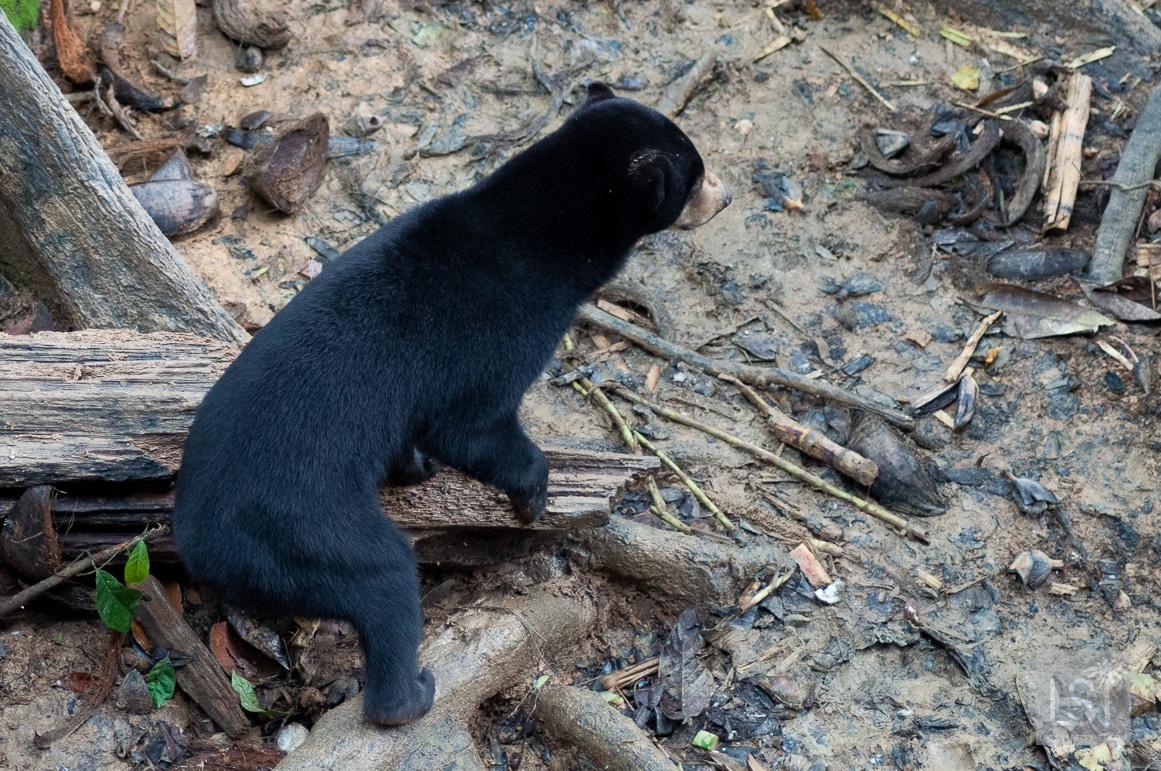 Bornean Sun Bear at the conservation centre in Sandakan, Sabah