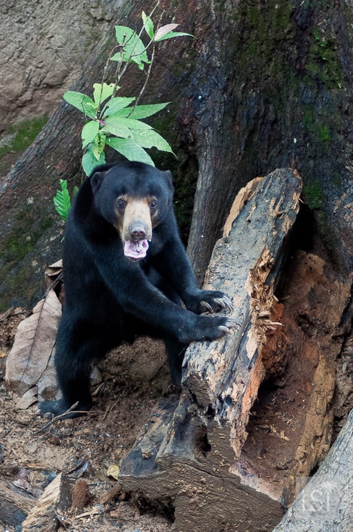Bornean sun bear sticks its tongue out at us at a conservation centre in Sepilok, near Sandakan