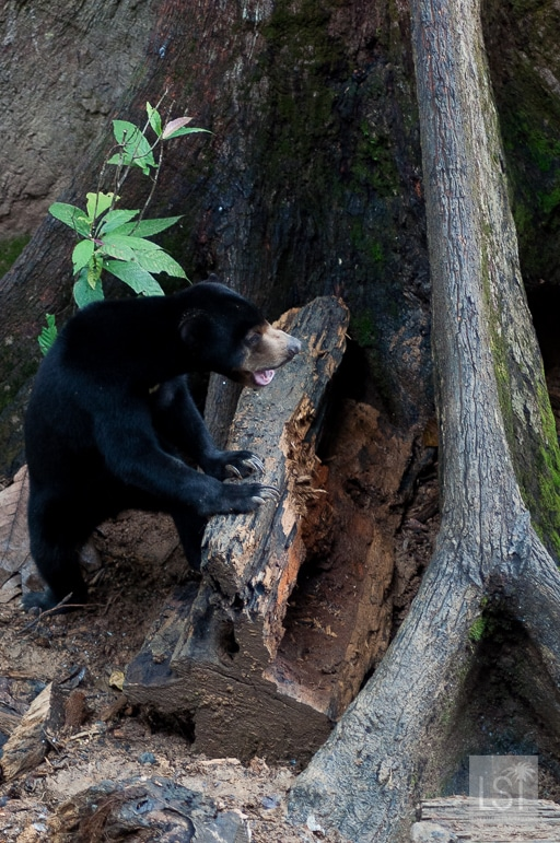 Borneo's endangered species - a Bornean Sun Bear