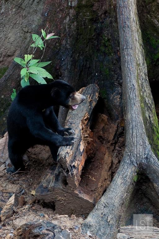 Borneo's endangered species - a Bornean Sun Bear