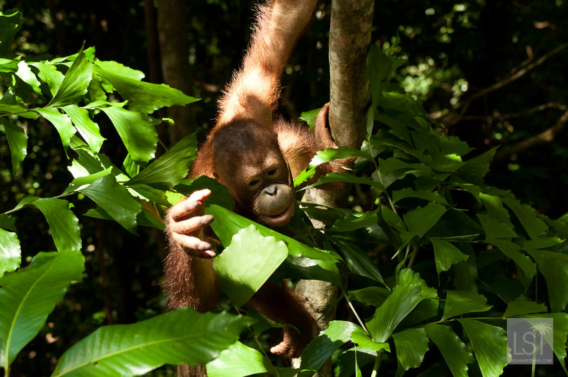Climbing up into the trees at the Shangri-La Rasa Ria Nature Reserve on the orangutan island of Borneo