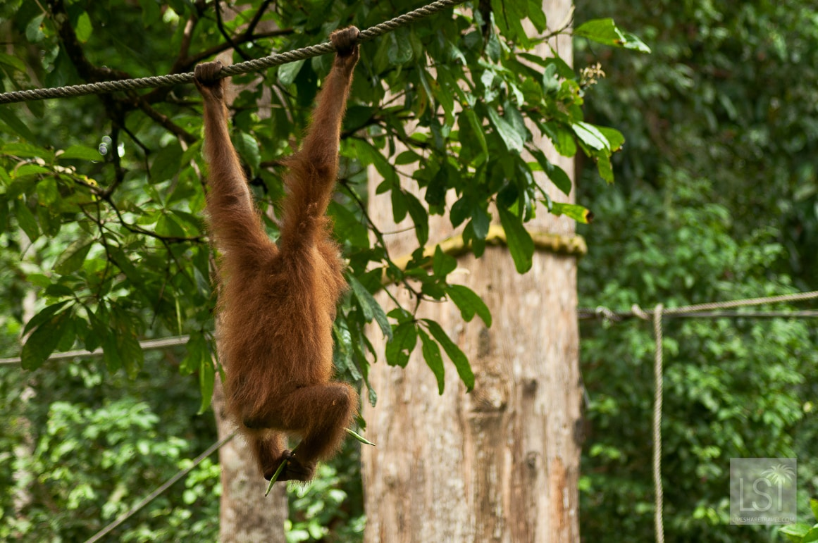 Hanging around on Orangutan island.