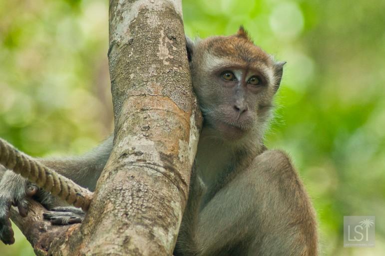 Monkey at the Shangri-La Rasa Ria, in Sabah, Borneo