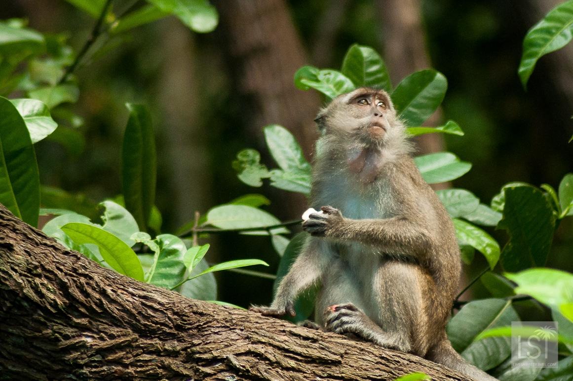 Monkey in Sabah, Borneo