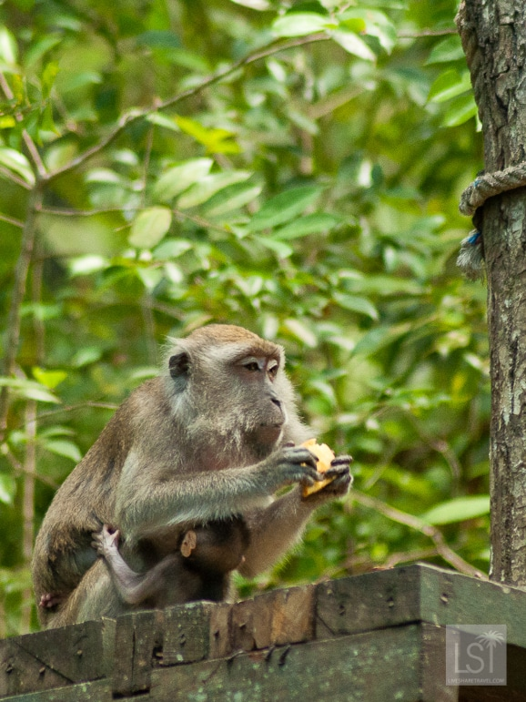 Monkey with its young, Sabah in Borneo