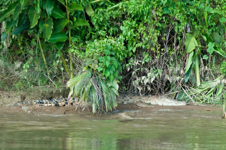 Not all animals are as cute as the orangutans in Borneo - this crocodile was pretty well camoflaged