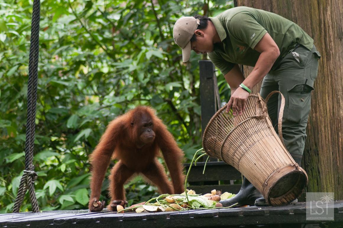 Orangutan Island - feeding time at Sepilok Orangutan Rehabilitation Centre