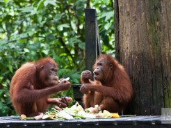 Orangutan island: falling in love with the animals of Borneo [PHOTOS]