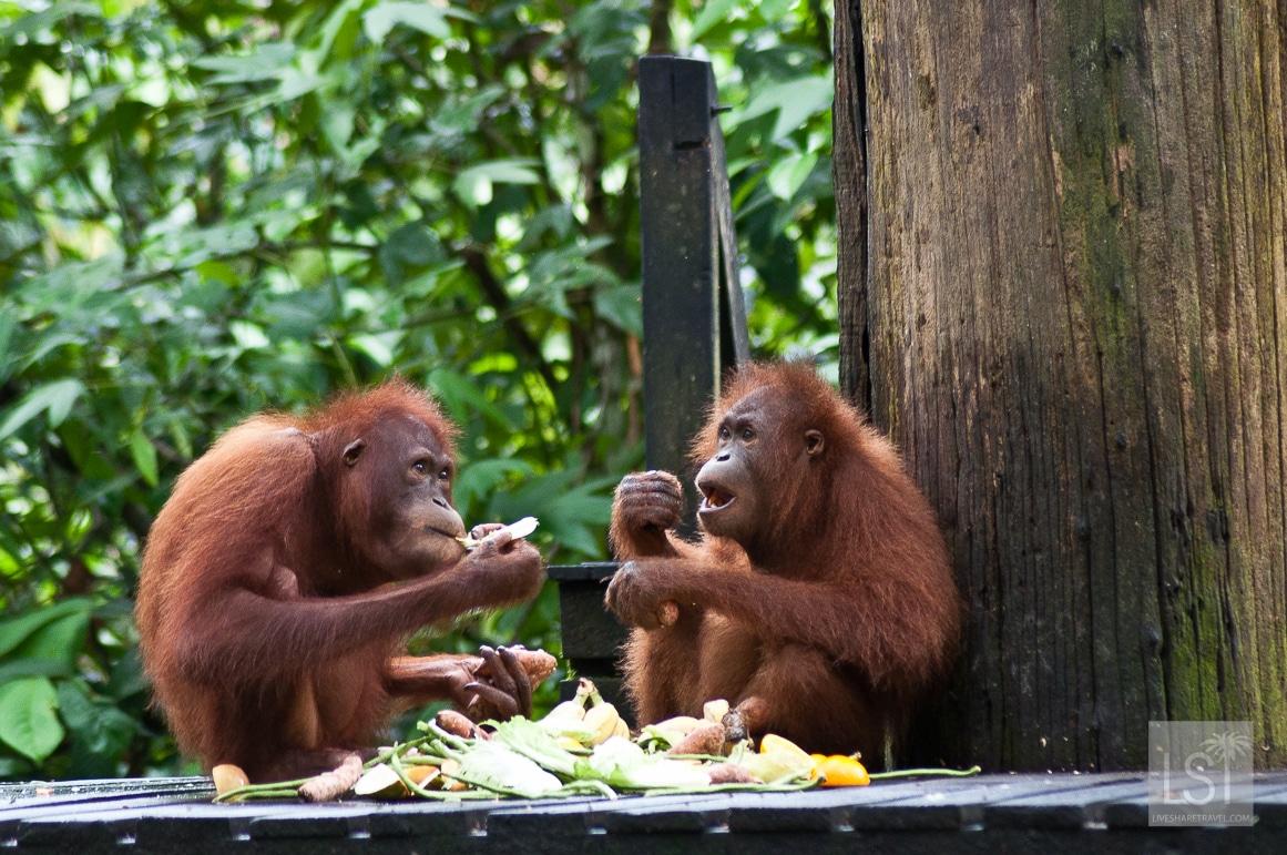 Orangutan Island - sharing lunch at Sepilok Orangutan Rehabilitation Centre