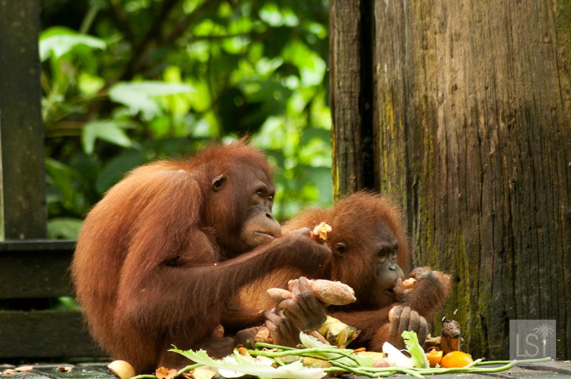 Orangutan island - tea for two at Sepilok Orangutan Rehabilitation Centre