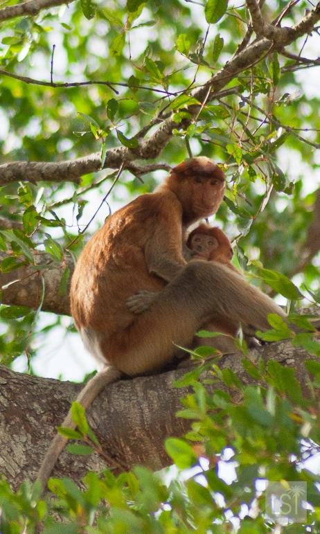 Orangutan island - you won't just find orangutans in Borneo though - it's also known for its proboscis monkeys
