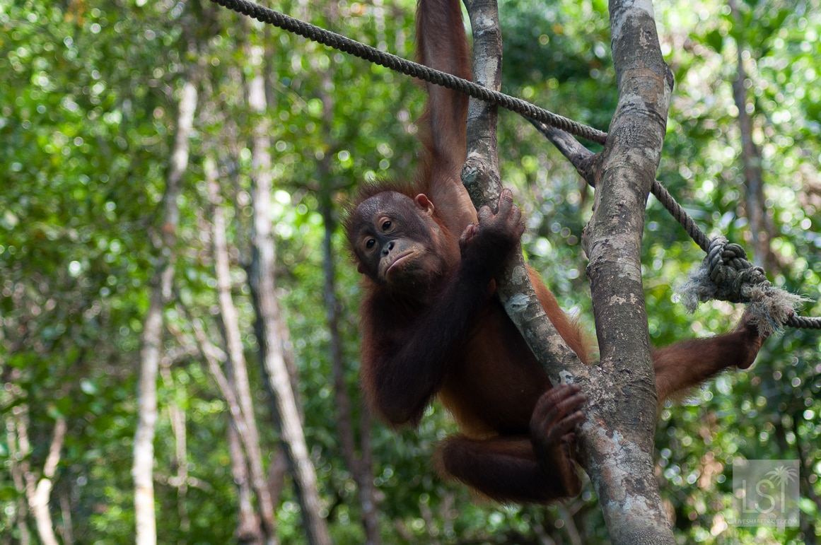Orangutan Island - young orangutan near the Shangri-La Rasa Ria, Borneo