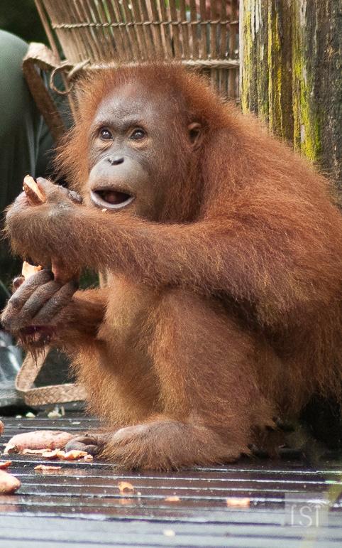 Orangutan at Sepilok Orangutan Rehabilitation Centre, in Borneo