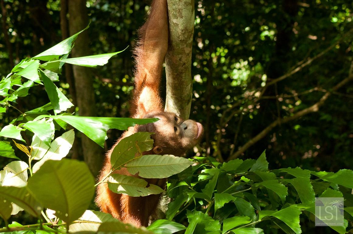 Orangutan island - at Shangri-La Rasa Ria Nature Reserve, in Sabah, Borneo