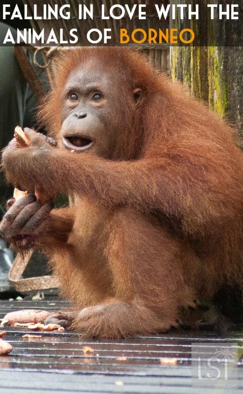 Orangutan island - falling in love with the animals of Borneo