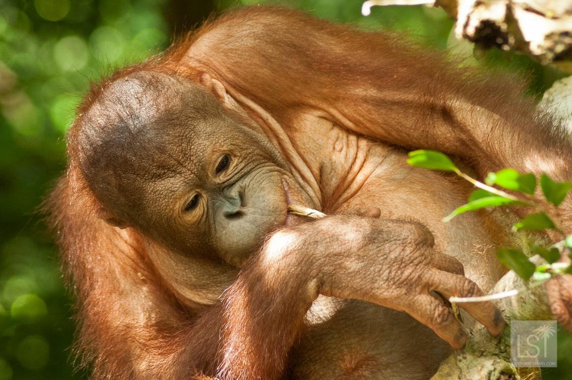 Orangutan island - young orangutans are reared at Shangri-La Rasa Ria Nature Reserve in Sabah, Borneo, before going to Sepilok Rehabilitation Centre