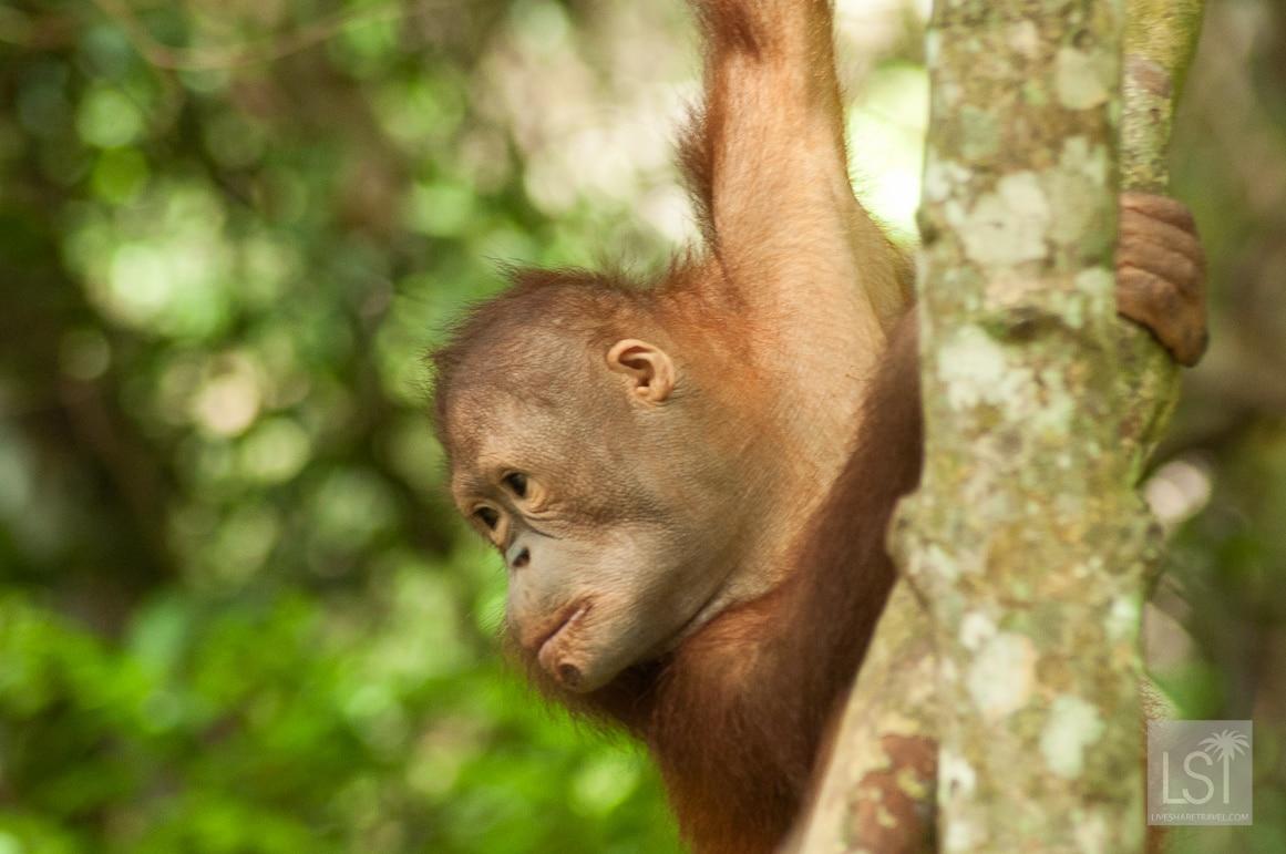 Orangutan island - young primate at the Shangri-La Rasa Ria Nature Reserve in Sabah, Borneo