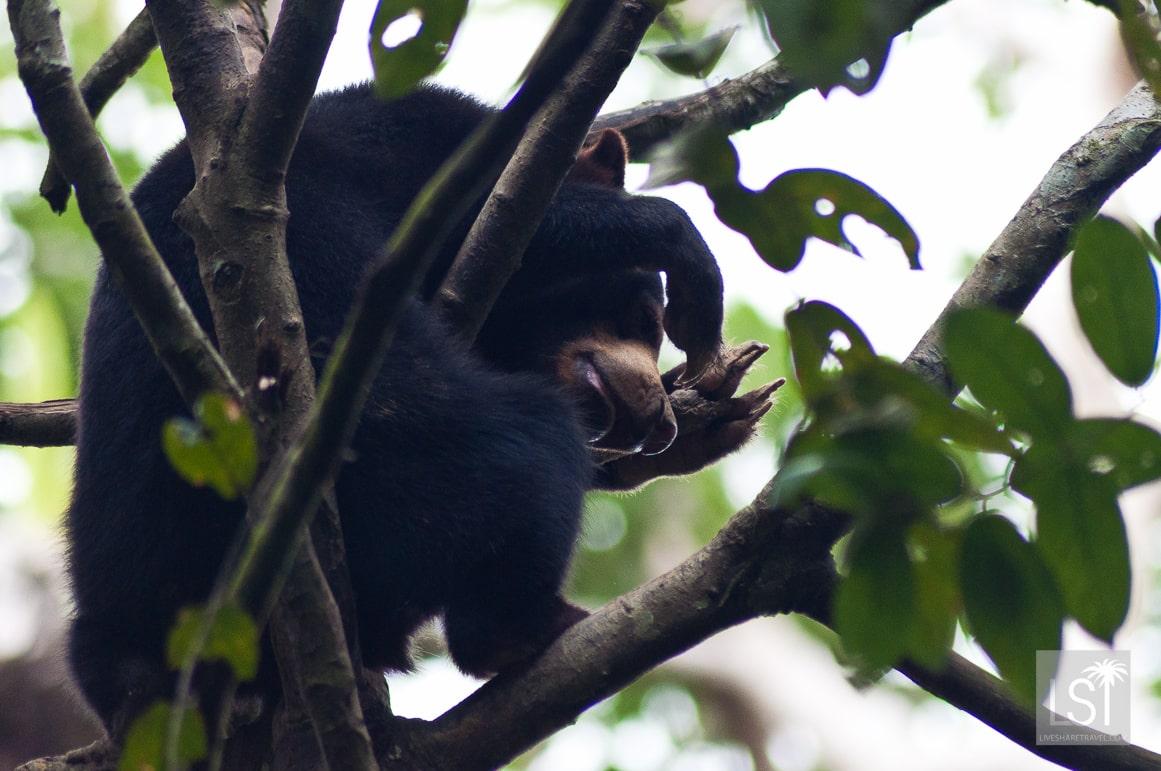 Peakaboo - a Bornean Sun Bear takes a nap near Sandakan, Sabah