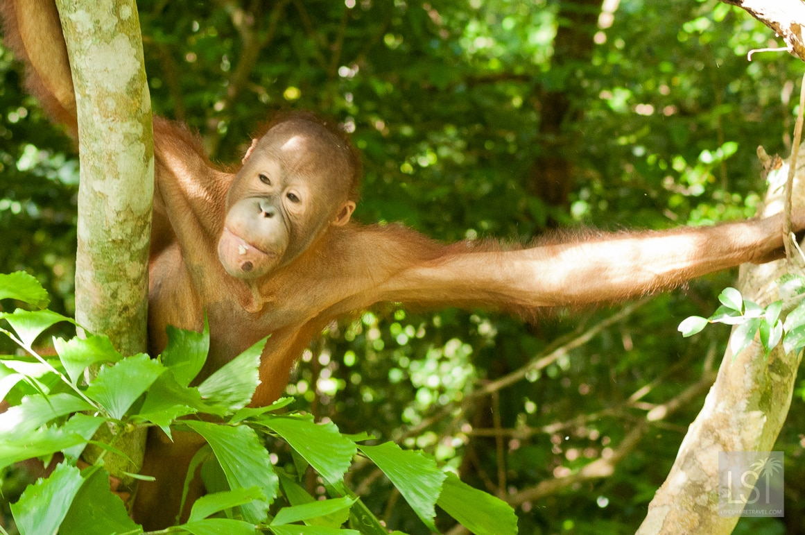 Popping in to say hello on the orangutan island of Borneo