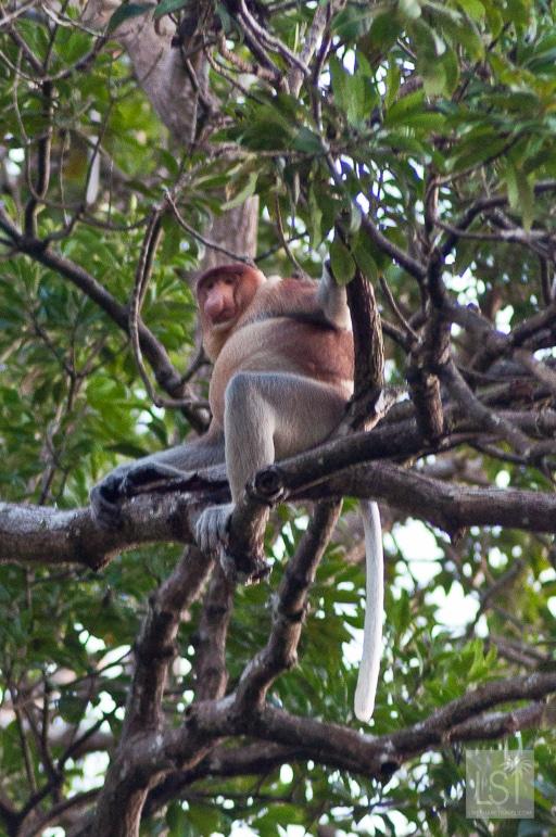 Proboscis monkey on the Orangutan Island of Borneo